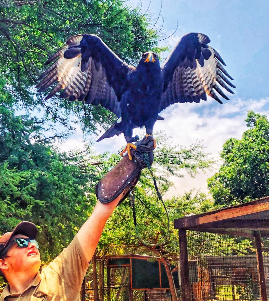 Verreaux's Eagle at Eagle Encounters in Stellenbosch